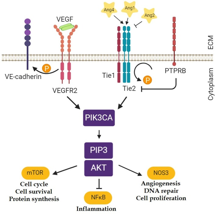 Investigation of the Possible Role of Tie2 Pathway and TEK Gene in Asthma and Allergic Conjunctivitis.